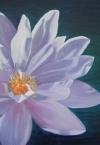 Waterlily Arnhemland